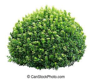 Un arbusto ornamental redondo