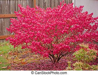 Un arbusto rojo ardiendo