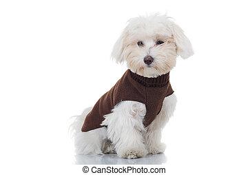 Un cachorro bichón sentado y usando ropa de perro