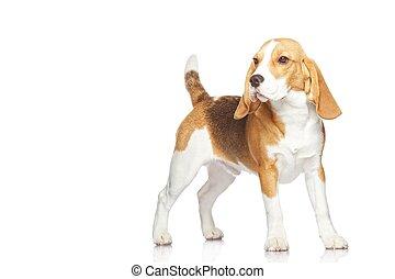 Un cachorro de Beagle aislado en un fondo blanco