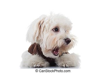 Un cachorro de bichon aturdido mira al lado con la boca abierta