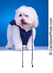 Un cachorro de Bichon con ropa