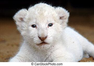 Un cachorro de león blanco