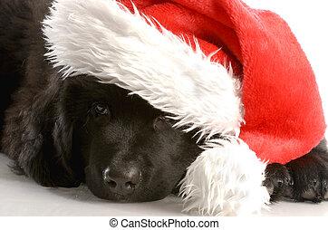 Un cachorro de Terranova con sombrero de Santa, de 12 semanas