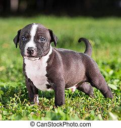 Un cachorro de terrier americano