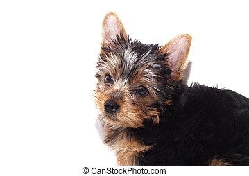 Un cachorro Yorkie