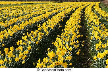 Un campo de narcisos en flor, Cornwall, UK.