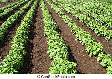 Un campo de verduras verdes.