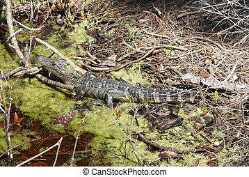 Un cocodrilo joven en Florida Marsh