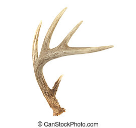 Un cuerno de ciervo de cola blanca