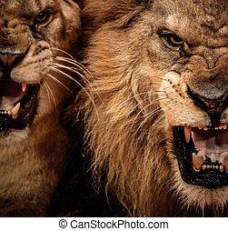 Un disparo de dos leones rugientes