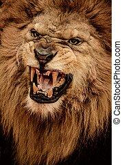 Un disparo de león rugiente
