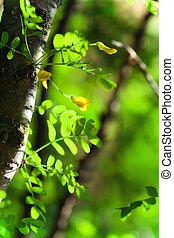Un fondo de verano con hojas verdes de acacia