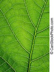 Un fondo verde. La textura de la hoja de roble.
