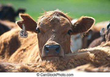 Un ganado