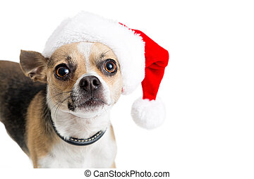 Un gracioso perro chihuahua con sombrero de Santa
