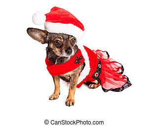 Un gracioso perro chihuahua de Navidad