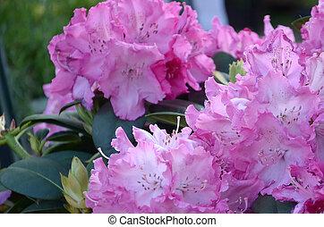 Un gran arbusto de rododendro rosa en el jardín botánico