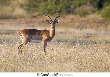 Un gran carnero de impala se alimenta de una llanura pastosa
