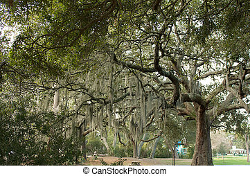 Un gran roble con musgo español colgando de las ramas
