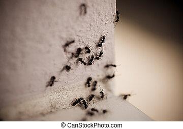 Un grupo de hormigas carpinteros en la pared