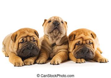 Un grupo de tres hermosos cachorros afilados aislados en blanco