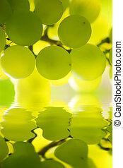 Un grupo de uvas en viña. Dofe superficial.