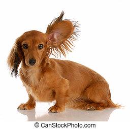 Un largo y peludo perro salchicha con una oreja de pie escuchando