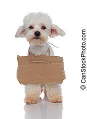 Un lindo cachorro de bichón mendigo con una valla vacía alrededor del cuello