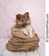 Un lindo cachorro de perro pastor de Shetland en una bolsa en una sala rosa