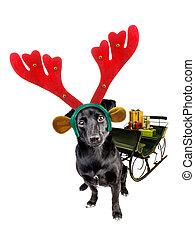 Un lindo perrito negro usando Navidad o banda de renos de navidad tirando de trineo con regalos aislados en blanco