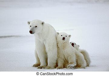 Un oso polar con cachorros.