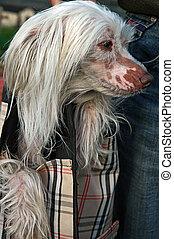 Un perrito chino blanco en una bolsa