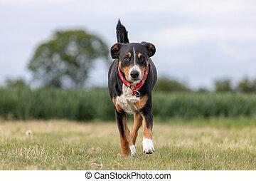 Un perro de montaña apenzeller corriendo sobre la hierba