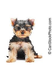 Un perro perrito de Yorkshire Terrier (de tres meses