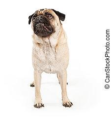 Un perro rabioso mirando hacia arriba
