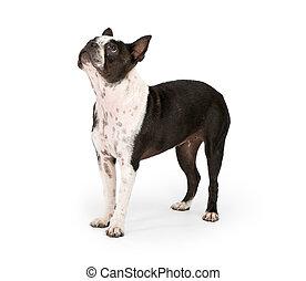 Un perro terrier de Boston mirando hacia arriba