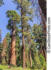 Un plano amplio de una Sequoia gigante