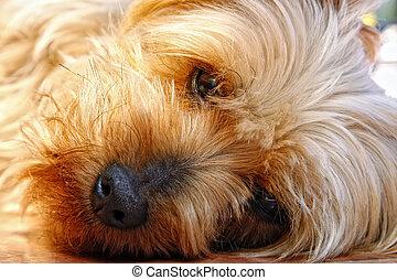 Un primer plano de cara de terrier de seda