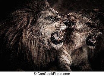 Un primer plano de león y leona rugiente
