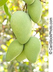 Un primer plano de mango en el árbol