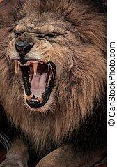 Un primer plano del león rugiente