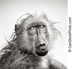 Un retrato de babuino mojado