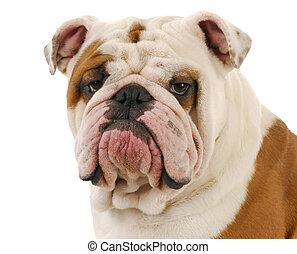 Un retrato de Bulldog