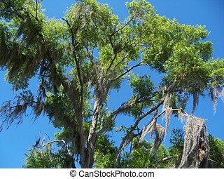 Un roble alto con Moss español contra un cielo azul