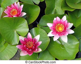 Un trío de flores de loto