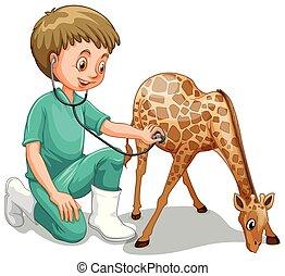 Un veterinario masculino busca jirafas