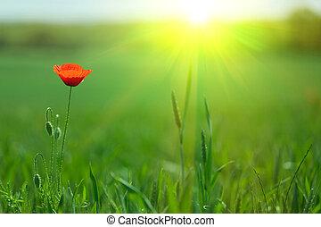 Una amapola a la luz del sol