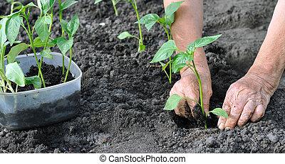 Una anciana plantando una semilla de pimienta
