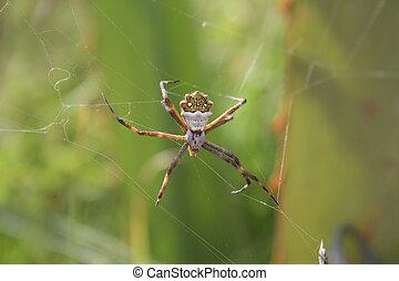 Una araña tejedora de orbe esperando